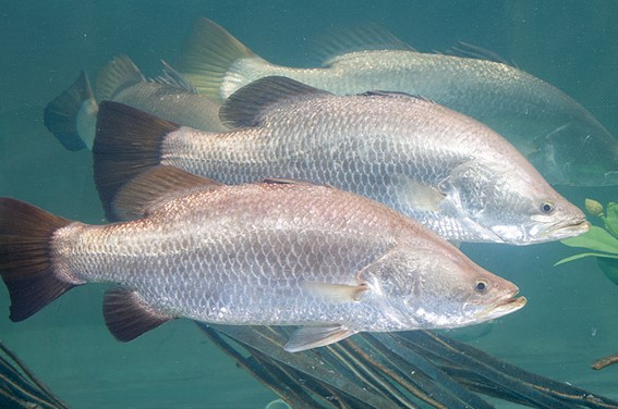 Tropical Marine Finfish - Aquaculture Stewardship Council